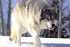 Who Will Control Wolves in Utah?